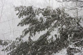 Softwood trees bend under the snowy weight