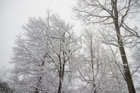 Tall trees draped in snow
