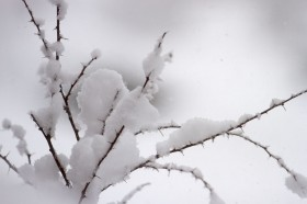 The snow clings no matter what the size or angle of the branch
