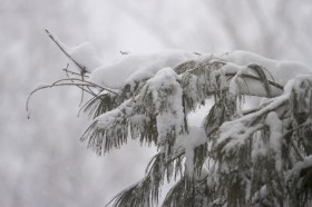 Snow draped conifer