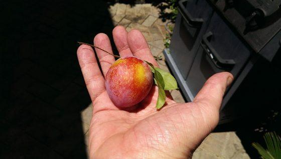 plum in hand