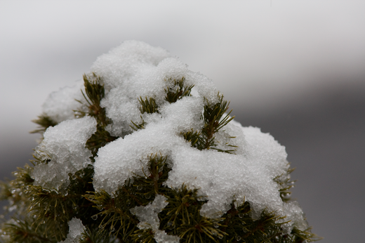 fir-needles-poke-through-snow.png