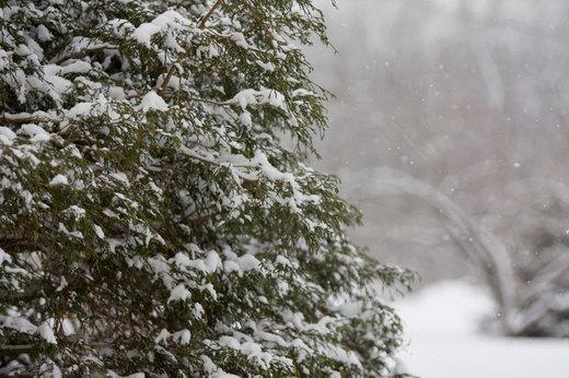 snow-on-fir-tree.jpg