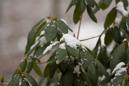 snow-on-rhododendron.jpg