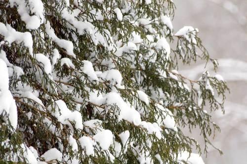 snowy-pine-tree.jpg