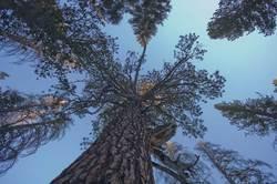 tall-trees-in-long-valley-mount-san-jacinto.jpg