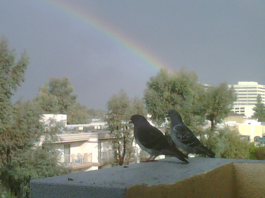 west coast rainbow pigeons.jpg