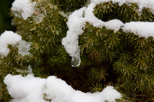 wet-snow-fir.png
